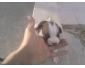 vente de chiennes pitbull au Kef