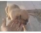 vente de chiennes pitbull au Kef 2