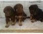 chiens bergers à Sousse Khezama