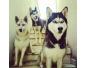 des bébé chiens Husky Siberien
