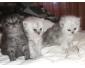 Vente chat persan chinchilla à Tunis 1