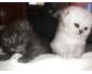 Vente chat persan chinchilla à Tunis 3
