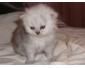 Vente chat persan chinchilla à Tunis 2