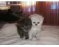 Vente chat persan chinchilla à Tunis 4